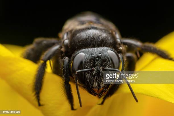 close-up of insect on yellow flower against black background,kundapura,karnataka,india - gliedmaßen körperteile stock-fotos und bilder