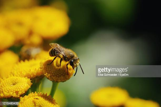 close-up of insect on yellow flower - tansy stock pictures, royalty-free photos & images
