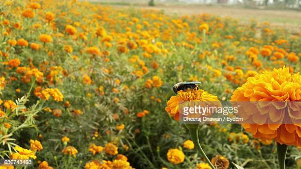Close-Up Of Insect Pollinating On Marigold Flower Blooming On Field