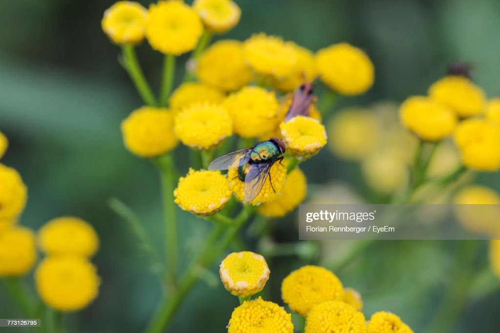 Close-Up Of Insect Pollinating On Yellow Flowers : Photo