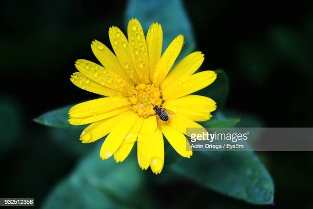 Close-Up Of Insect Pollinating Yellow Flower