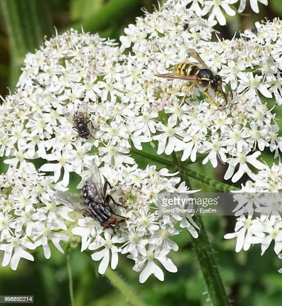Close-Up Of Insects On White Flowers