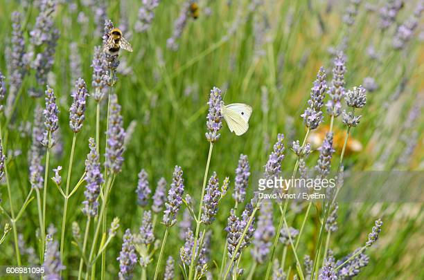 Close-Up Of Insects Pollinating Lavenders On Field