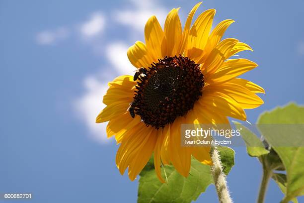 Close-Up Of Insects Pollinating On Sunflower