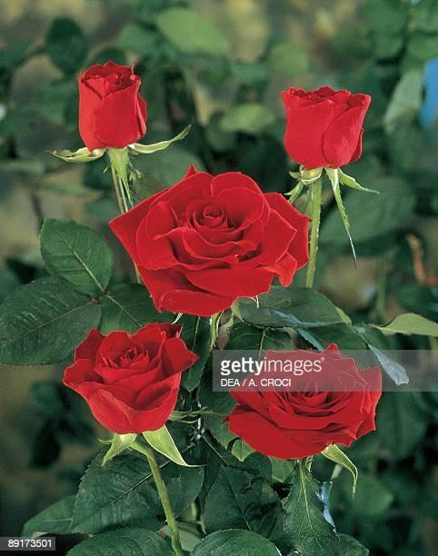 Closeup of Irene roses