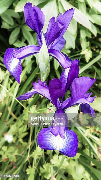 Close-Up Of Iris Blooming Outdoors