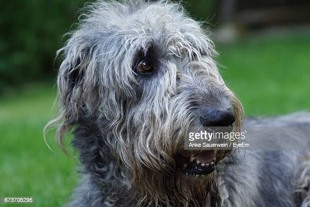 Close-Up Of Irish Wolfhound Looking Away