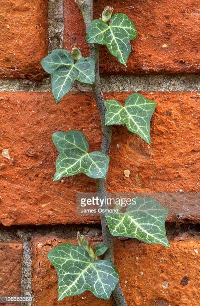 Close-up of ivy climbing a garden wall in the town of Rowington in Warwickshire.