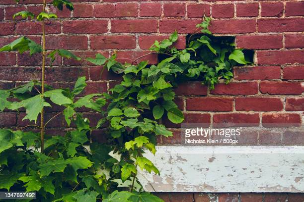 close-up of ivy growing on brick wall - klein stock pictures, royalty-free photos & images