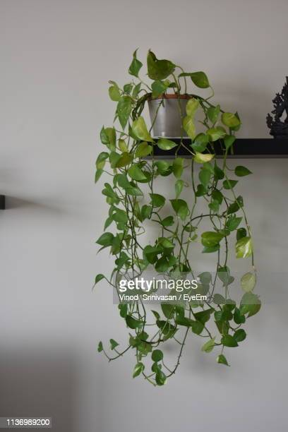 close-up of ivy growing on plant - creeper stock pictures, royalty-free photos & images