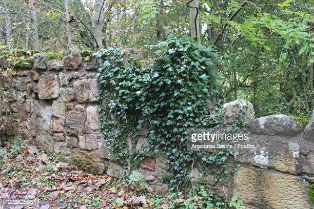 close-up of ivy growing on tree in forest - creeper stock pictures, royalty-free photos & images