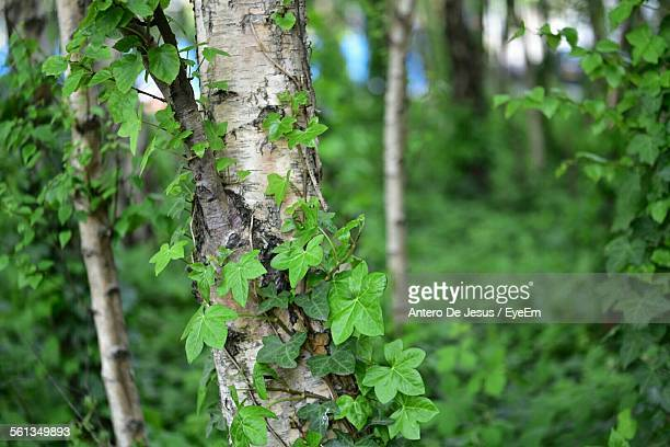 Close-Up Of Ivy Growing On Tree Trunk In Forest