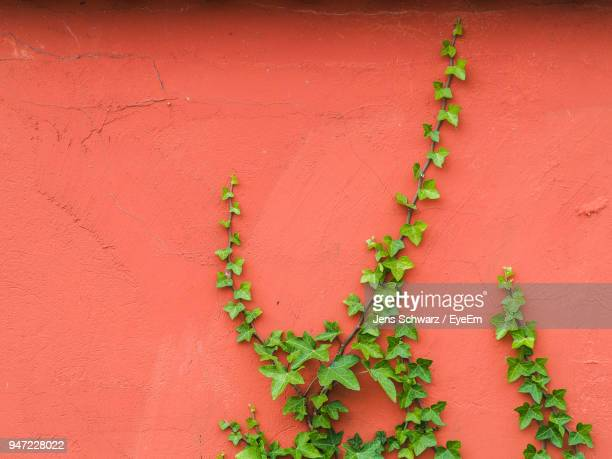 close-up of ivy growing on wall - edera foto e immagini stock
