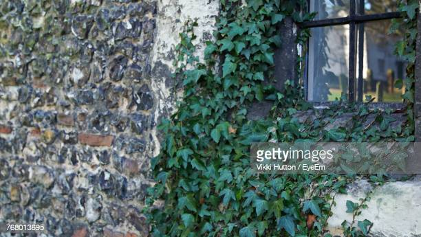 close-up of ivy growing on window - hutton stock photos and pictures