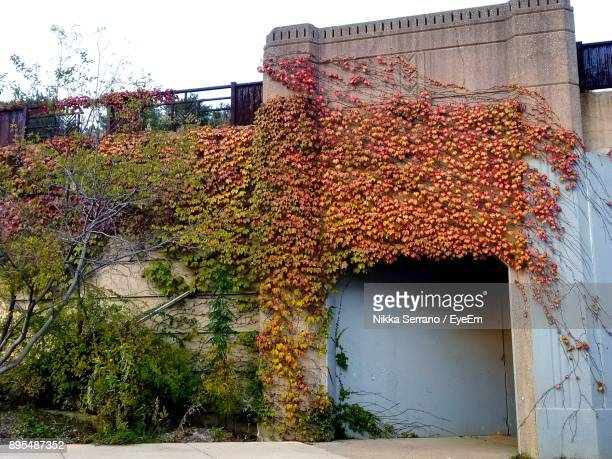 close-up of ivy on built structure - park ridge illinois stock pictures, royalty-free photos & images