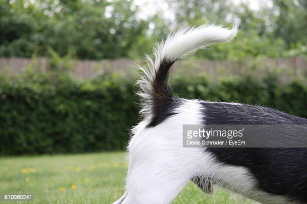 Close-Up Of Jack Russell Terrier On Grassy Field