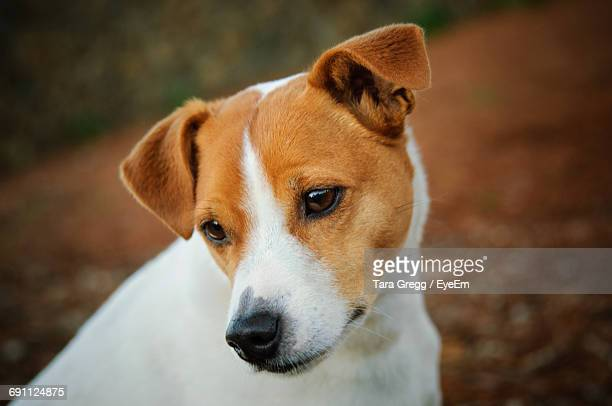 close-up of jack russell terrier - jack russell terrier stock pictures, royalty-free photos & images