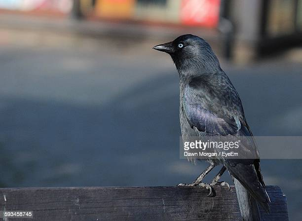 Close-Up Of Jackdaw Perching On Wood
