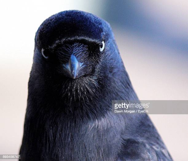 Close-Up Of Jackdaw Perching Outdoors