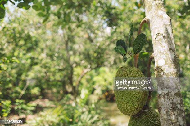 close-up of jackfruit in tree - bortes stock pictures, royalty-free photos & images