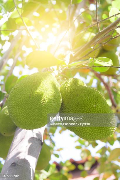 close-up of jackfruits growing on tree - jackfruit stock photos and pictures