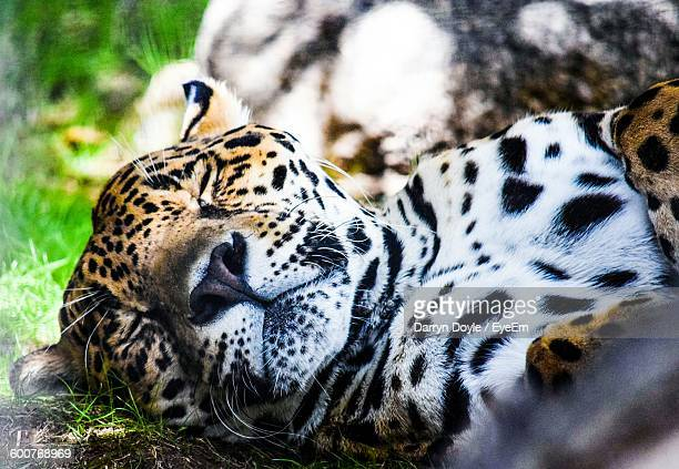 Close-Up Of Jaguar Relaxing On Field