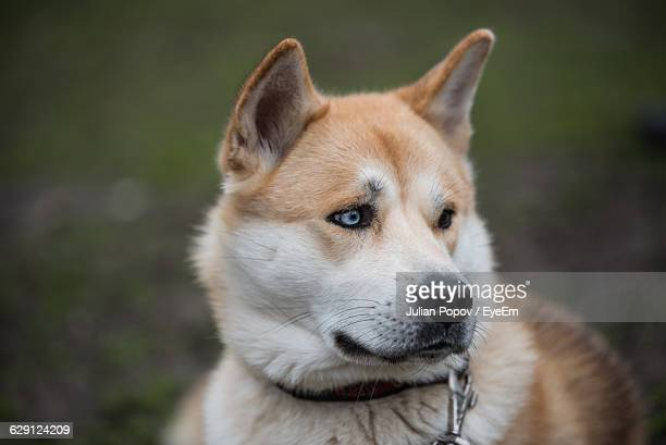 Close-Up Of Japanese Akita Licking Nose