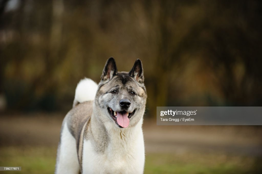 Close-Up Of Japanese Akita Panting While Standing On Field : Foto de stock