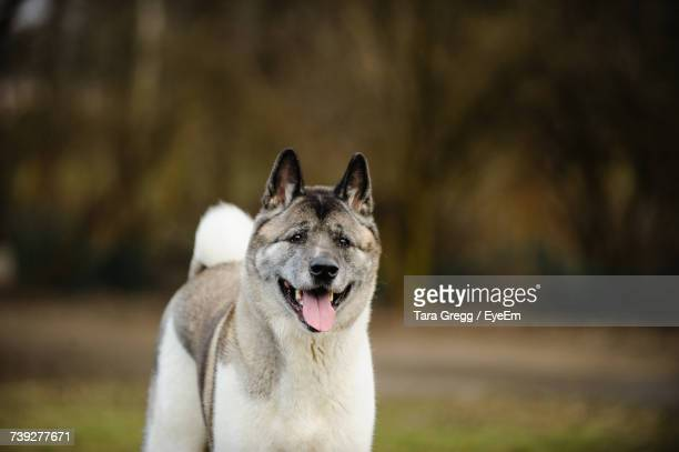 Close-Up Of Japanese Akita Panting While Standing On Field