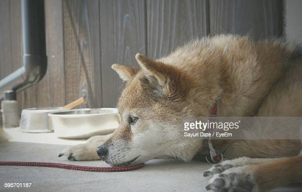 Close-Up Of Japanese Akita Relaxing On Floor At Home