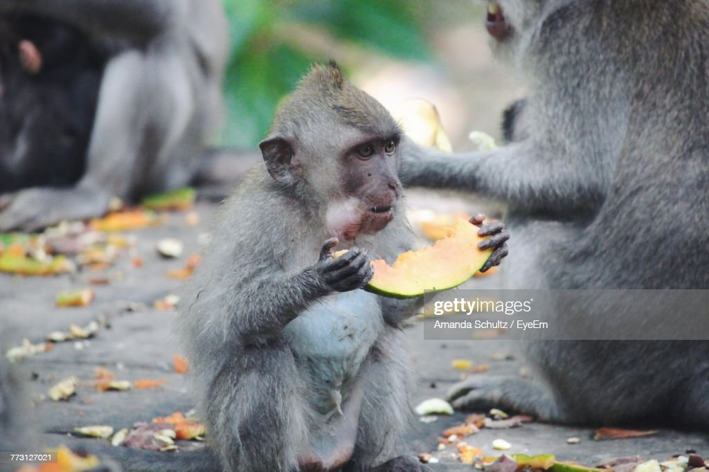 Close-Up Of Japanese Macaque Infant Eating Fruit On Retaining Wall : Photo