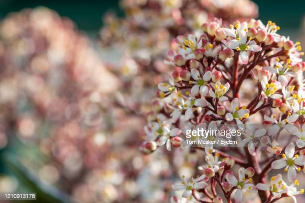 close-up of japanese skimmia flowers - evergreen plant stock pictures, royalty-free photos & images