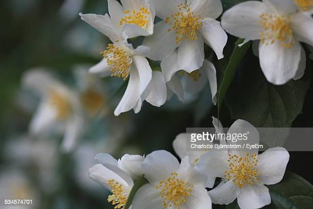 close-up of jasmine flowers growing on tree - jasmine stock photos and pictures