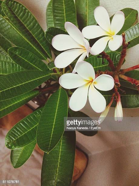 close-up of jasmine flowers - jasmine flower stock pictures, royalty-free photos & images
