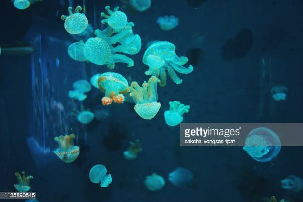 close-up of jellyfish in aquarium, thailand - phosphorescence stock pictures, royalty-free photos & images