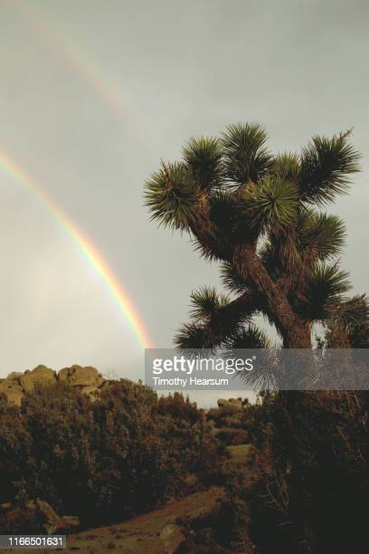 close-up of joshua tree along a trail with other plants and boulders; gray sky and double rainbow beyond - timothy hearsum stock photos and pictures