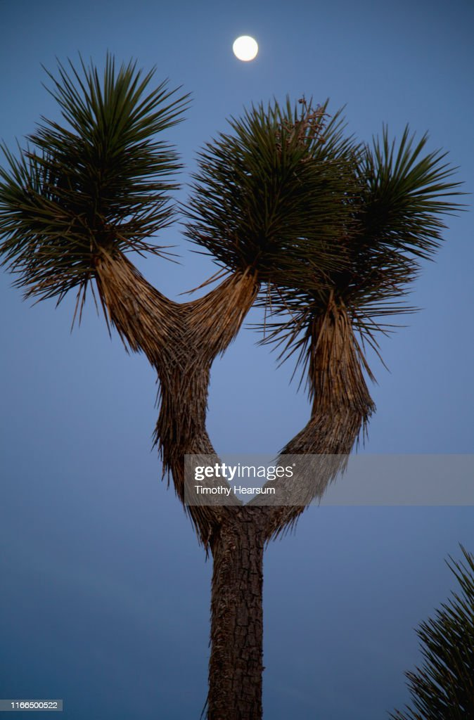 Close-up of Joshua Tree with dark blue sky and full moon above : Stock Photo
