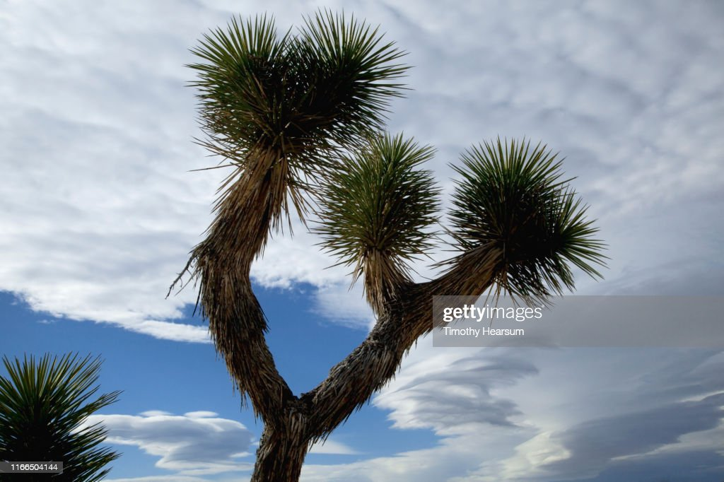Close-up of Joshua Tree with dramatic sky beyond : Stock Photo