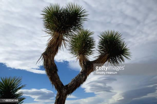 close-up of joshua tree with dramatic sky beyond - timothy hearsum stock pictures, royalty-free photos & images