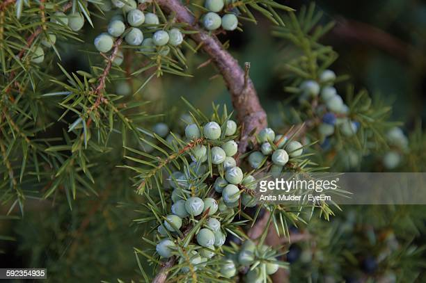 Close-Up Of Juniper Berries Growing On Tree