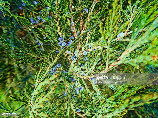 Close-Up Of Juniper Berries Growing Outdoors