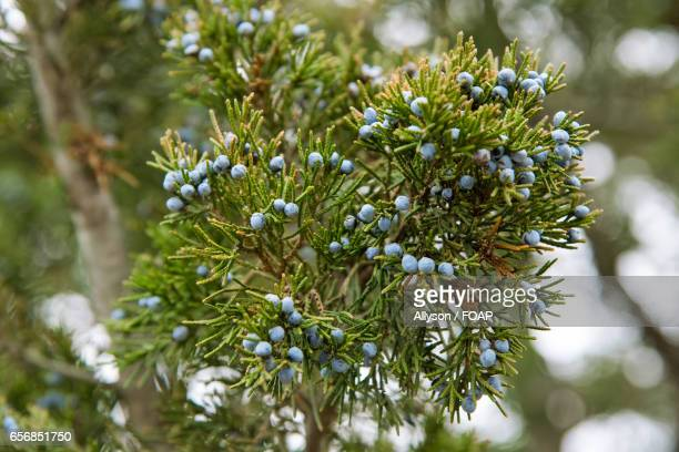 Close-up of juniper berry