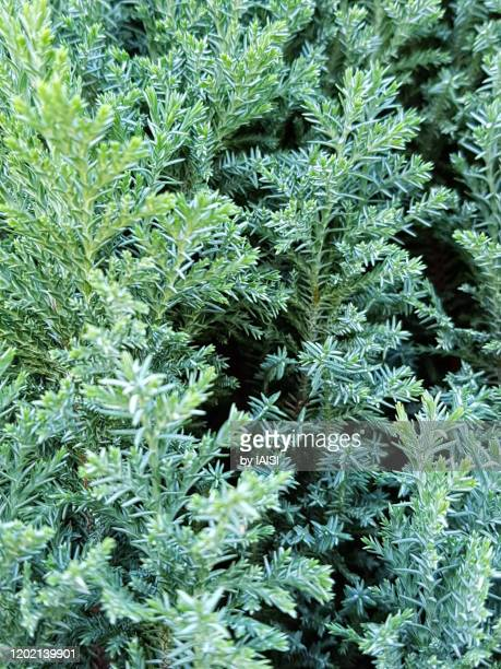 close-up of juniperus in the cypress family, full frame, detail of foliage, natural green background - juniper tree stock pictures, royalty-free photos & images