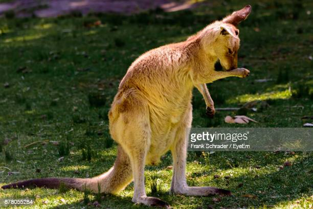 Close-Up Of Kangaroo Standing On Field