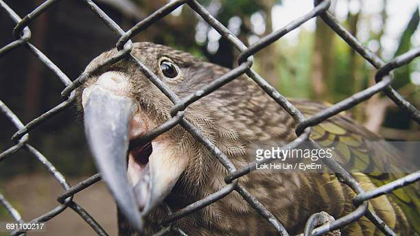 Close-Up Of Kea In Cage
