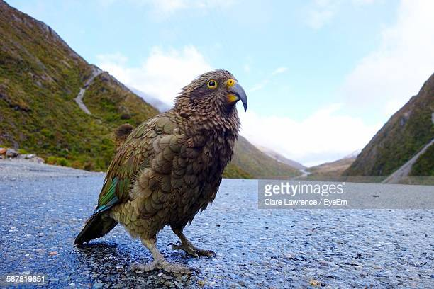 Close-Up Of Kea Perching On Wet Road By Mountains Against Cloudy Sky