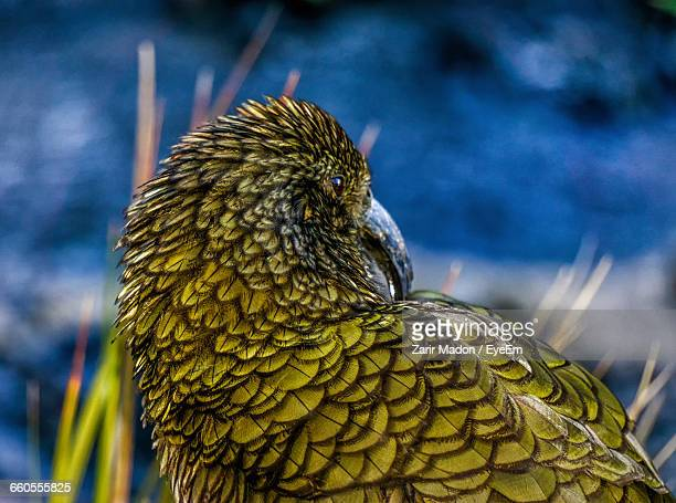 Close-Up Of Kea