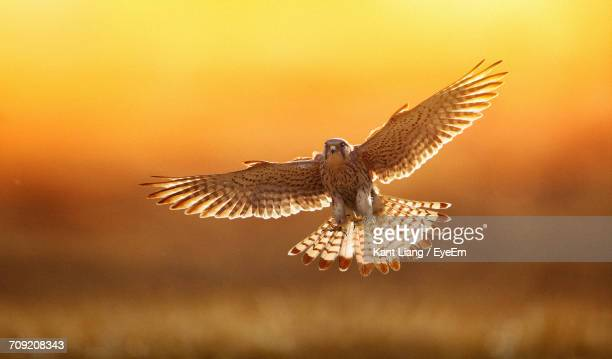 close-up of kestrel flying - hawk bird stock photos and pictures