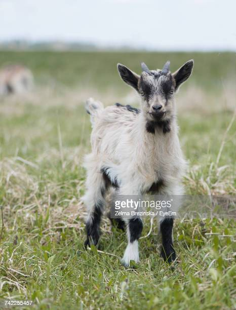 Close-Up Of Kid Goat Standing On Grassy Field