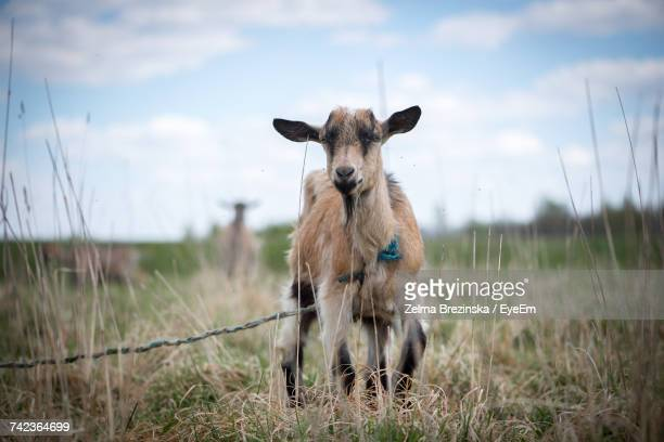 Close-Up Of Kid Goat Tied To Rope On Grassy Field